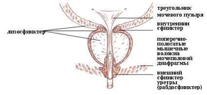 Фото задняя часть уретры